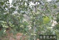 1-10公分山楂树 苹果树 桃树 樱桃树 核桃树 柿子树