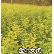 金叶女贞大量供应,山东省青州市黄楼镇新花卉市场花仙子园艺