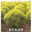 金叶女贞球大量供应,山东省青州市黄楼镇新花卉市场花仙子园艺