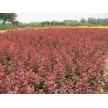 红叶小檗大量供应,山东省青州市黄楼镇新花卉市场花仙子园艺