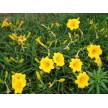 金娃娃萱草大量供应,山东省青州市黄楼镇新花卉市场花仙子园艺
