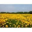 金鸡菊大量供应,山东省青州市黄楼镇新花卉市场花仙子园艺