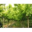 金叶复叶槭大量供应,青岛蓝山园林有限公司