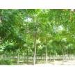 栾树大量供应,青岛蓝山园林有限公司
