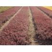 紫叶小檗大量供应,河南一州园林有限公司