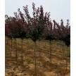 红叶李大量供应,河南一州园林有限公司