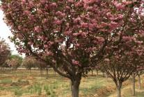 精品西府海棠、紫叶小檗、月季