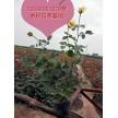 供营养钵月季玫瑰300万盆