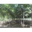 栾树大量供应,潍坊润华园林绿化工程有限公司