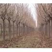 樱花大量供应,潍坊润华园林绿化工程有限公司