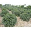 扶芳藤球大量供应,潍坊润华园林绿化工程有限公司