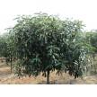 各种规格中华石楠供应,安徽肥西华盛苗圃