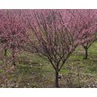 各种规格红梅供应,安徽肥西华盛苗圃