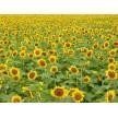 精品供应观赏向日葵,杭州杰美生态科技有限公司