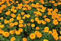 孔雀草、观赏向日葵、金鸡菊、石竹