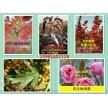 新品红叶稠李,各种北美海棠,鸡心果,寒富,龙丰,金叶榆,小苗