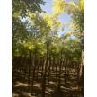大量供应刺槐,长林绿化苗圃基地