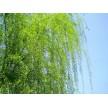 大量供应柳树,长林绿化苗圃基地