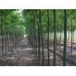 精品国槐供应,长林绿化苗圃基地