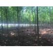 精品白蜡供应,长林绿化苗圃基地