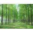 精品杨树供应,长林绿化苗圃基地