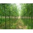 精品柳树供应,长林绿化苗圃基地