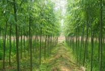 柳树、杨树、白蜡、国槐精品推荐