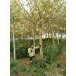 精品法桐大量供应,海阳千和园林绿化有限公司