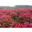 精品红叶石楠大量供应,海阳千和园林绿化有限公司