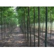 精品国槐大量供应,海阳千和园林绿化有限公司