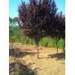 紫叶李(6-8cm 8000棵)供应,河南荥阳康龙苗木