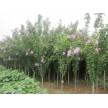 木槿(4-7cm 20000棵)供应,河南荥阳康龙苗木