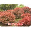 精品红叶石楠供应,东台市新街镇绿淼苗圃