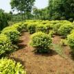 精品海桐球供应,河南省绿川生态园林有限公司
