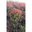 精品红叶石楠供应,河南省绿川生态园林有限公司