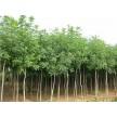 精品朴树供应,质优价廉!玉明草坪园艺场