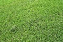 专供草坪:马尼拉、百慕达、中华结缕草、果岭草、混播草