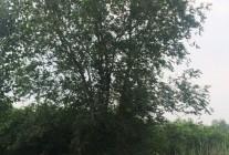 精品榆树、国槐推荐