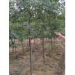 香樟、朴树、三角枫主供苗木供应