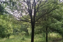主供:香樟、朴树、三角枫等绿化苗木