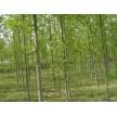 精品马褂木供应,南京市兰馨苗木合作社