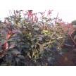 精品红叶石楠供应,南京市兰馨苗木合作社
