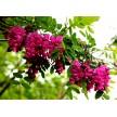 优质品种紫穗槐