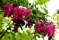 精品紫穗槐推荐