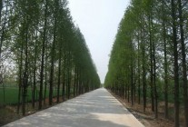精品水杉、栾树、木槿、棕榈等园林绿化推荐