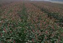 精品红叶石楠、樱花、竹子推荐