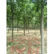 10-13公分楸树精品供应中,周口市楸树苗木繁育基地
