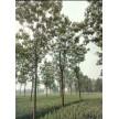 12公分开花楸树精品供应中,周口市楸树苗木繁育基地