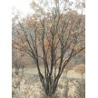 精品丛生蒙古栎大量供应,森丰苗圃