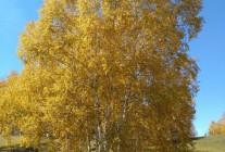 精品白桦、蒙古栎、五角枫、山丁籽等推荐